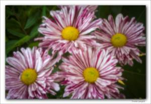 krysantemum-pinhole
